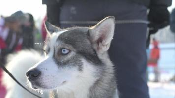 husky siberiano al aire libre en invierno video