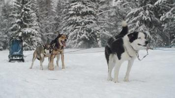 Schlittenhunde warten auf ein Rennen