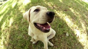 cucciolo di labrador seduto nell'erba video