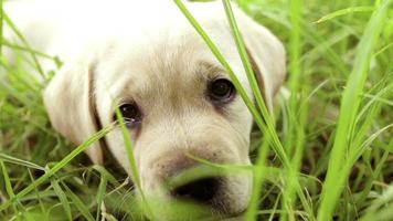Labrador puppy sitting in the grass video
