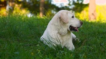 bellissimo vecchio cane labrador anziano sdraiato nel prato