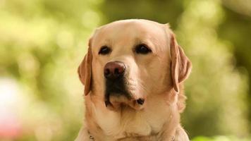 vicino ritratto di un cane labrador. video