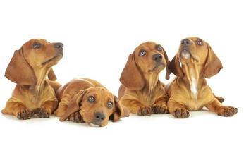 quattro cuccioli di bassotto