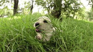 neugieriger Welpe, der in Zeitlupe aus dem Gras springt video