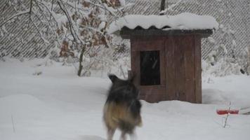 Hund läuft im Winter zum und vom Zwinger