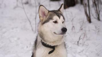 husky hond in winter woud video