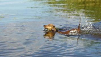 hd - lustiger Hund. Dackel schwimmt nach seinem Zauberstab