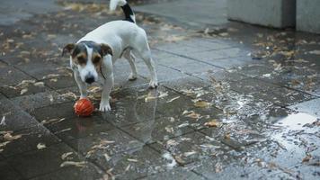 il cane beve l'acqua dalle pozzanghere