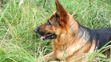 Deutscher Schäferhund auf dem Hof Zeitlupe