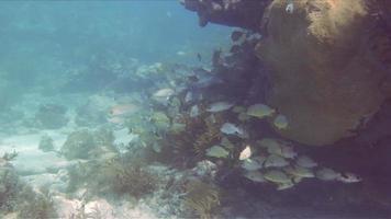 poissons tropicaux autour d'un récif de corail video