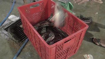 transferência de peixes vivos de caixas de pesca de metal para caixas de plástico usando uma rede de mão