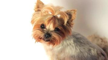 Yorkshire Terrier on White video