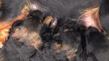 Cute Puppies Breastfeed, Dogs Suckling its Mother video