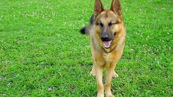 cão pastor alemão latindo em câmera lenta video