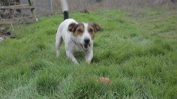 jack russell terrier che gioca nell'erba video