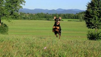 cachorro correndo morro acima