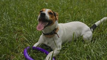 chien se trouve sur l'herbe avec sa langue pendante