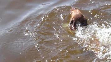 schwimmender Hund, Dackel