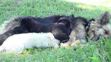cães alimentando filhotes