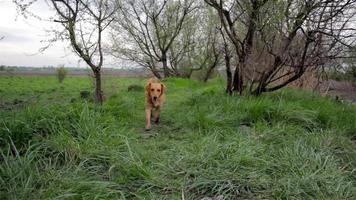 chien qui court devant la caméra