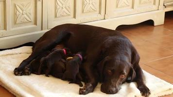allattamento cuccioli labrador marrone con sua madre