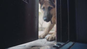 Duitse herdershond met een peinzende uitdrukking