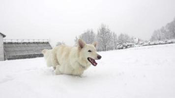 Zeitlupe: Weißer Schweizer Schäferhund stapft durch hohen Schnee