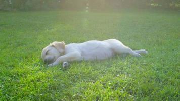 niedlicher Welpe, der im Garten schläft - Schiebekamera video
