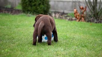 cucciolo di labrador cioccolato che gioca con una palla video