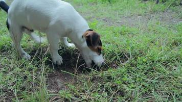Jack russell terrier puppy playing in the yard video