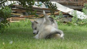 cachorros husky pelean en una hierba