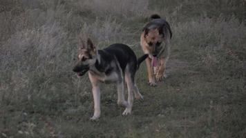 perro corriendo en el camino video