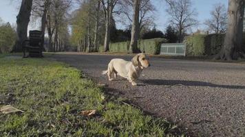dachshund em um parque ensolarado