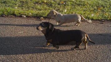 dachshunds em um parque ensolarado