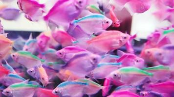 pesce arcobaleno