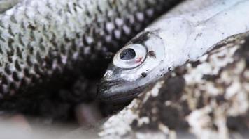 lebender Fisch gefangen