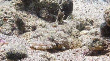 pesce coccodrillo