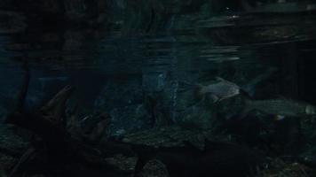 poisson d'eau douce video