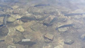peixes nadam