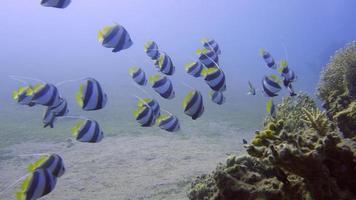 peixe bandeira video
