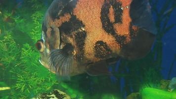 peixe de cor