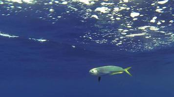pesce delfino / mahi mahi vista laterale subacquea