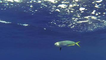 Delfinfisch / Mahi Mahi Unterwasserseitenansicht