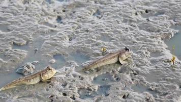 mudskipper, poisson amphibie video