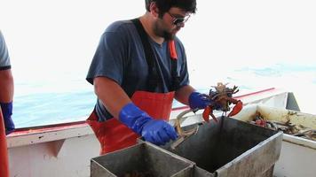 homem-lagosta verifica o tamanho das lagostas, coloca faixas nas garras, maine video