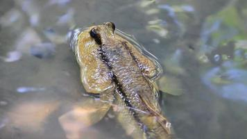 mudskipper in una palude di mangrovie video
