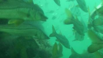 école de snook sous l'eau