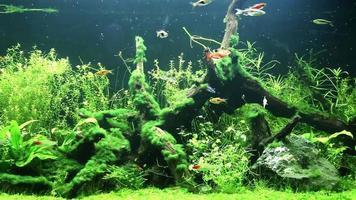 de nombreuses espèces de poissons d'eau douce dans l'aquarium.