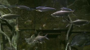 muchas especies de peces de agua dulce en el acuario. video