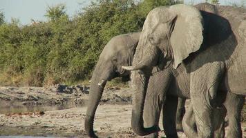 éléphants buvant